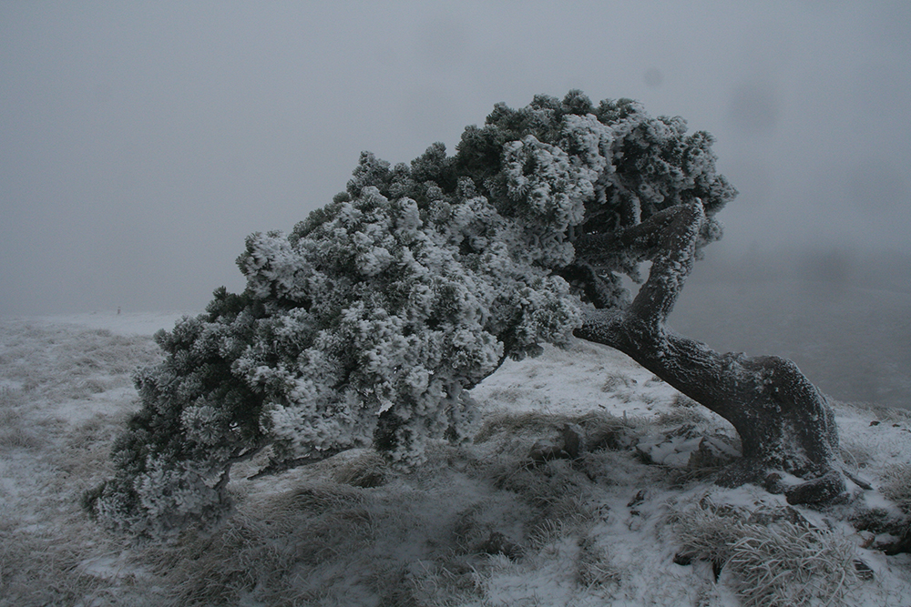 Wind-sculpted tree on the Crêt de la Neige