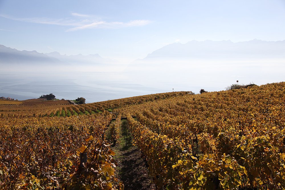 The vineyards of Lake Geneva, home to the hoopoe.