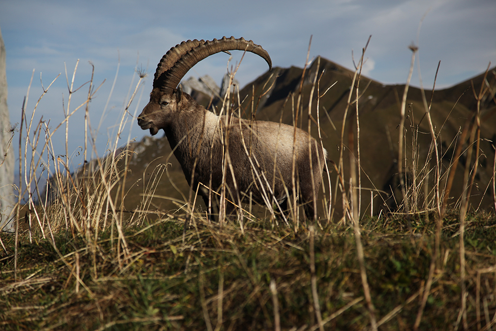 The ibex, king of the Alps.